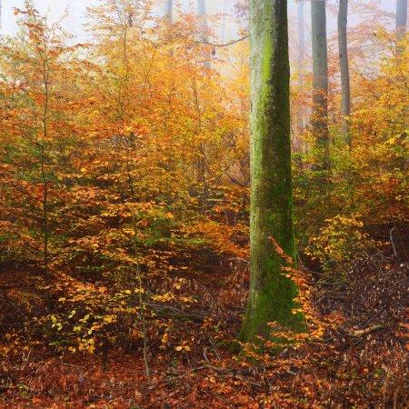 Photo pour Brouillard le matin mystérieuse dans une forêt de hêtres magnifiques. Arbres de l'automne avec le feuillage jaune et orange. Heidelberg, Allemagne - image libre de droit