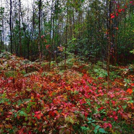 Photo pour Forêt à feuilles caduques début automne en Lettonie. - image libre de droit