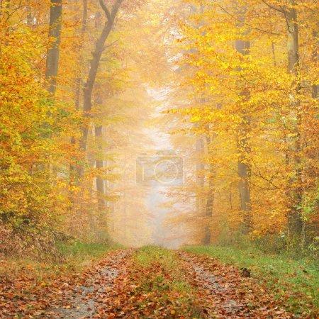 Photo pour Mystérieux brouillard matinal dans une belle forêt de hêtres. Route forestière avec arbres d'automne au feuillage jaune et orange. Heidelberg, Allemagne - image libre de droit