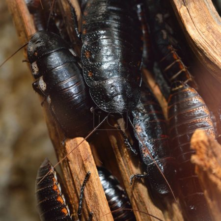Black giant Madagascar hissing cockroach