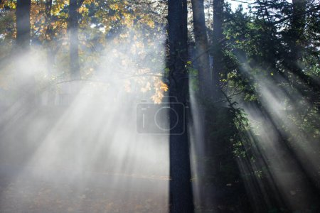Photo for Autumn landscape. Morning fog in the forest. Sun rays and branches of pine trees, close-up. Germany - Royalty Free Image