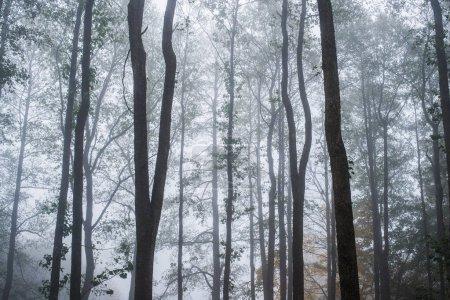 Photo pour Brouillard matinal dans la forêt, feuilles vertes et dorées, bouleaux en gros plan, Lettonie ; - image libre de droit