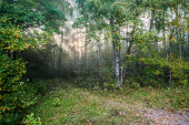 Pure morning light in the green forest, Latvia