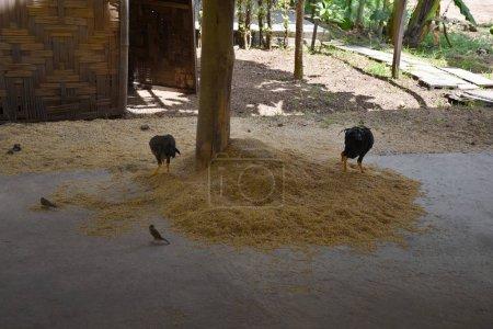 kanchanaburi, thailand, 09.09.2019: Hühner und Drosselvögel fressen den ausgewählten Reis in der Reisproduktionshalle an der Kochküche im historischen Dorf Mallika city r.e. 124