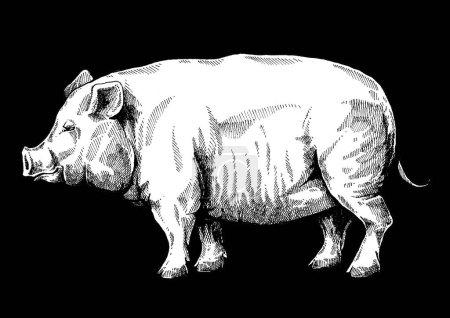 Wildschwein, Schwein. Vintage-Retro-Stil klassische Illustration für Steak House, Speisekarte, Paket