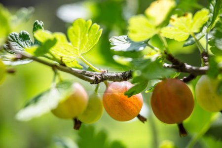 Photo for Close up of growing gooseberries on bush - Royalty Free Image