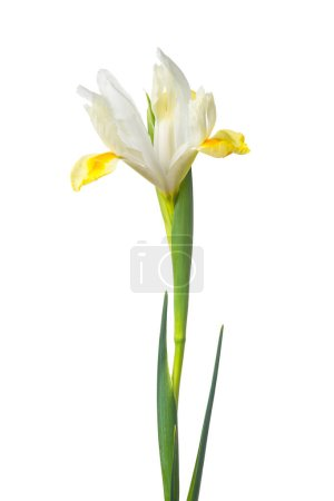 Photo for Narcissus pseudonarcissus flower isolated on white - Royalty Free Image