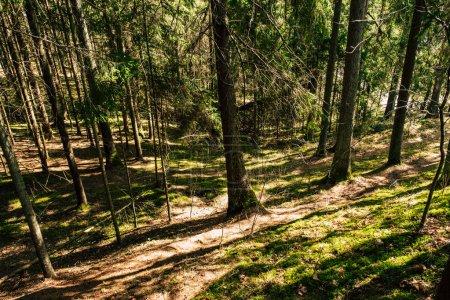 Photo pour Belle forêt aux arbres verts - image libre de droit