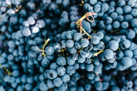 Background of grapes harvested...