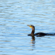 One double crested cormorant swimming in blue refl...