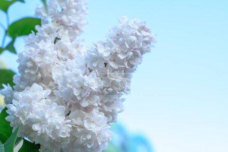 Photo pour Branche lilas blanche sur arbre gros plan - image libre de droit