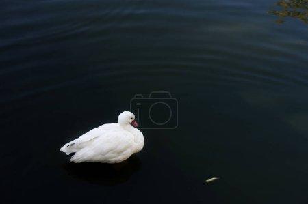 Photo pour Young white swan on lake water - image libre de droit