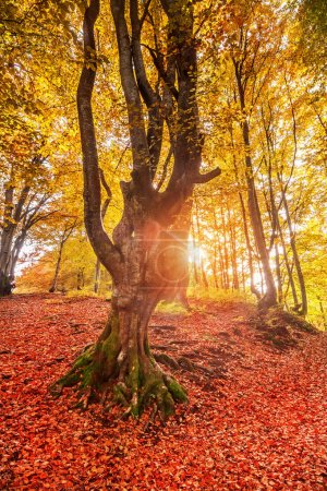 Photo pour Vieil arbre aux feuilles colorées dans la forêt ensoleillée d'automne. fond naturel - image libre de droit
