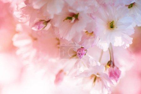 Foto de Hermosas flores de primer plano sakura. Fondo natural. Imagen con enfoque suave - Imagen libre de derechos