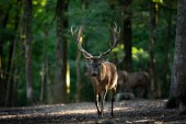 Red deer in the forest during the rut