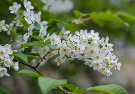 Photo for Branch of bird cherry with white flowers. Spring. - Royalty Free Image