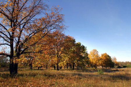 Photo for Magnificent landscape oak grove in autumn sunny day - Royalty Free Image