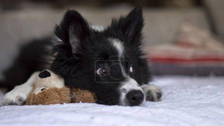 Photo pour Un chiot collie frontière sur le canapé avec son jouet au regard rusé fixé ailleurs - image libre de droit