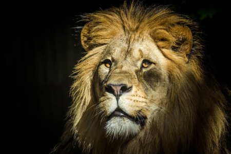 Lion of the king in animals...