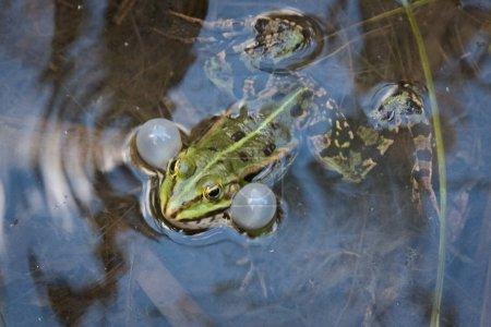 Gruener quakender Wasserfrosch oder Grasfrosch mit...