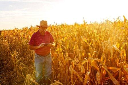 Senior farmer standing in corn field and examining crop before harvesting with a tablet