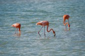 Flamingos in Rio Coloradas on the north of Mexico