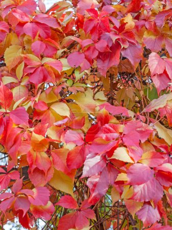 Photo for Bright colorful autumn leaves. Natural pattern or background - Royalty Free Image