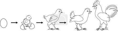 Illustration for Coloring page. Stages of chicken growth from egg to adult bird - Royalty Free Image