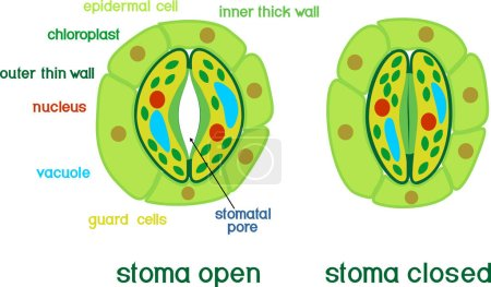 Structure of stomatal complex with open and closed...