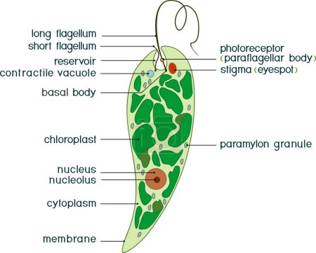Illustration for Diagram of Euglena. Structure of Euglena viridis with titles - Royalty Free Image