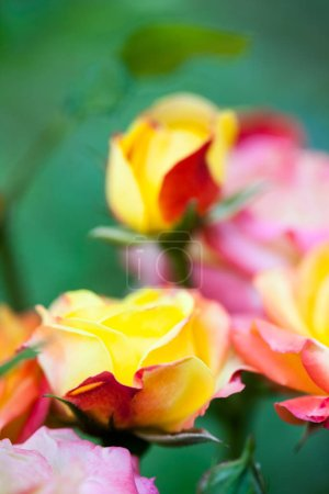 Photo for Colorful, beautiful, delicate rose with details - Royalty Free Image