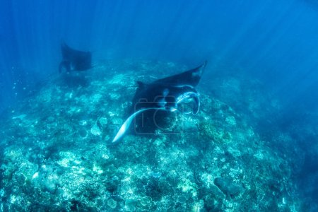 Manta rays diving snorkeling and