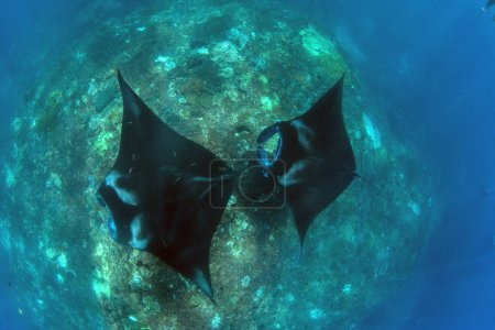 Manta rays diving and snorkeling