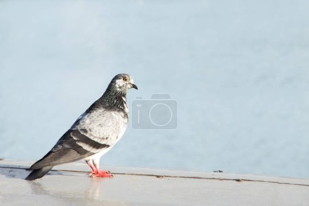 Photo for Close-up shot of grey pigeon on concrete surface - Royalty Free Image