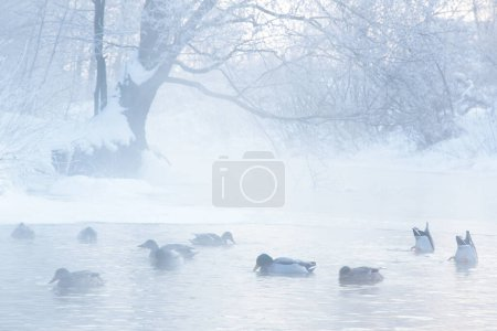 Photo for Ducks in winter lake - Royalty Free Image
