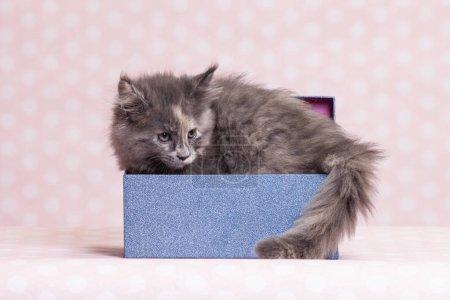 Photo pour Smal beauté Maine Coon chaton 2 mois - image libre de droit
