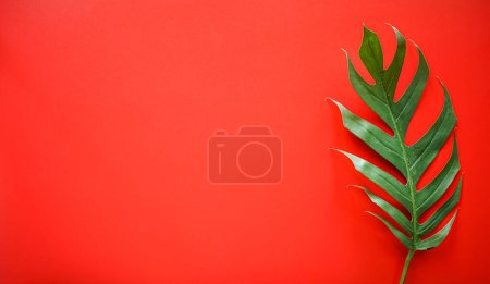 Photo for Flat lay of Green tropical Monstera leaf on red background with copy space - Royalty Free Image