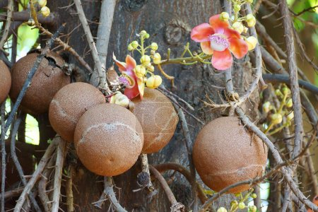 Photo pour Shorea robusta arbre / canon arbre à balles - image libre de droit