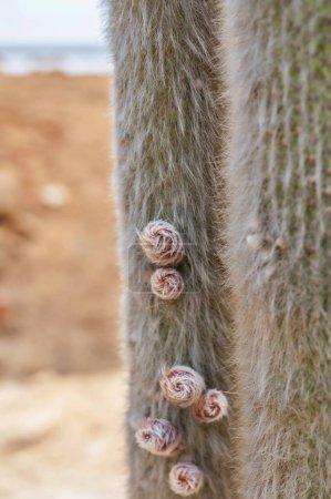 Photo pour Gros plan de trichocereus cactus succulent dans le désert. Détail de cactus avec fond flou . - image libre de droit