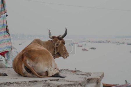 Photo pour Vache sur asphalte pendant les fêtes religieuses en Inde - image libre de droit