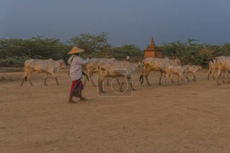 Photo for Traditional man with cows in dessert - Royalty Free Image