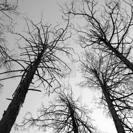 Photo pour Scène de forêt de pins d'hiver. Photographie noir et blanc . - image libre de droit