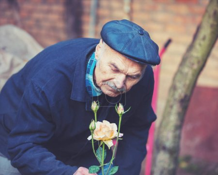 Old man cultivates roses in the garden