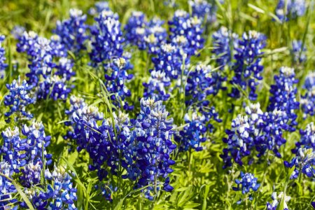 Photo for Close up view of beautiful bluebonnets in the Texas Hill Country. - Royalty Free Image