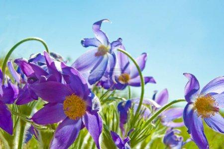 Photo pour Gouttes de neige lilas sous le soleil du printemps et le ciel bleu. Sibérie occidentale, gamme Salair, Russie . - image libre de droit