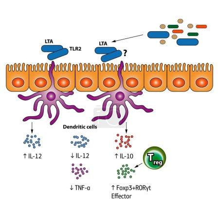 Stimulation of the Regulatory T cells vector medic...