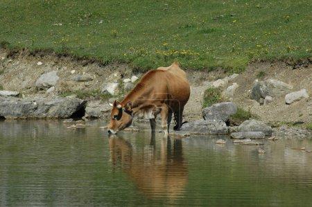 Photo pour Boire de la vache asturienne au lac Enol à Covadonga - image libre de droit