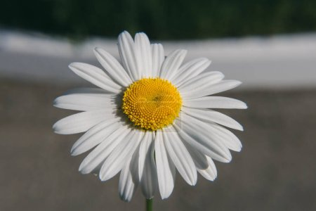 Photo for Close up live flower chamomile - Royalty Free Image