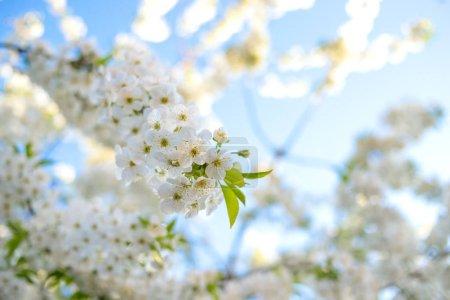 Photo pour Branches d'un arbre en fleurs. Cerisier en fleurs blanches. Fond flou. - image libre de droit