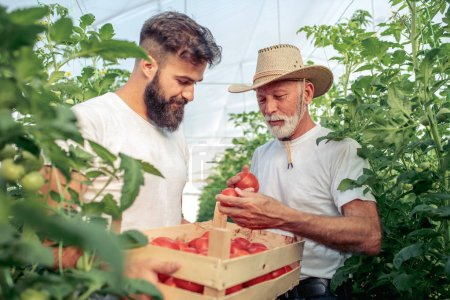 Father and son check harvest of tomato in greenhouse. People, farming, gardening and agriculture concept.